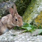 Wild Rabbit